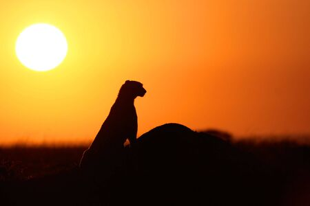 A cheetah silhouette in the savannah, at sunset photo
