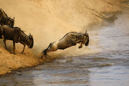 ambiente: Wildebeest jumping crossing the Mara River Stock Photo