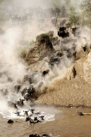 mara: Wildebeest jumping crossing the Mara River Stock Photo
