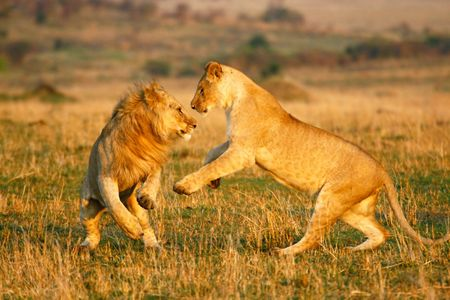 ambiente: A lioness and a young lion play in the early morning Stock Photo