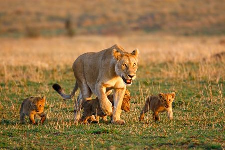 ambiente: Lioness walking with four little cubs Stock Photo