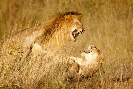 Lions mating in the high grass photo