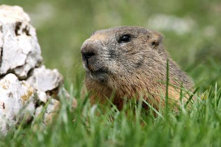 ambiente: A marmot in the Venetian Dolomites