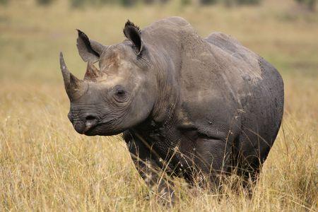 savana: Rhino walking in the high grass