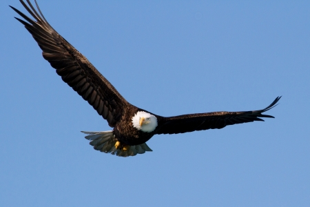 ambiente: A great bald eagle is flying with outspread wings