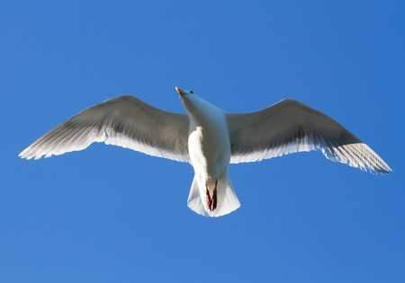 ambiente: Seagull flying in the blue sky and looking for food