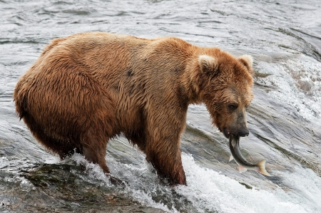 Grizzly bear fishing for salmons in an Alaskan river  photo