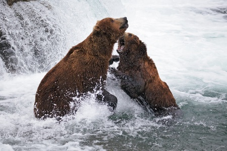 ambiente: Grizzly bears fighting in an Alaskan river  Stock Photo