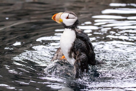 ambiente: Puffin shaking its wings in the water  Stock Photo