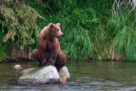 Grizzly bear fishing for salmons in an Alaskan river. photo