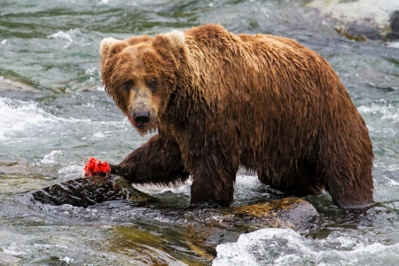Grizzly bear eating a salmon in an Alaskan river. photo