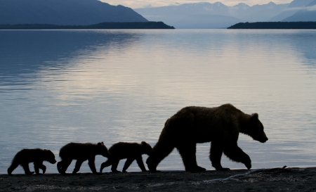 bear lake: Grizzly sow with three little cubs at dawn.