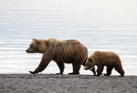 Grizzly sow with cub at dawn walking on the beach.
