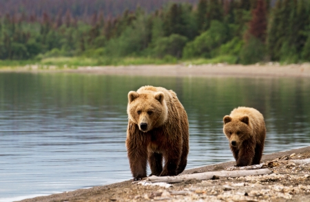 bear lake: Grizzly sow with cub at dawn walking on the beach. Stock Photo