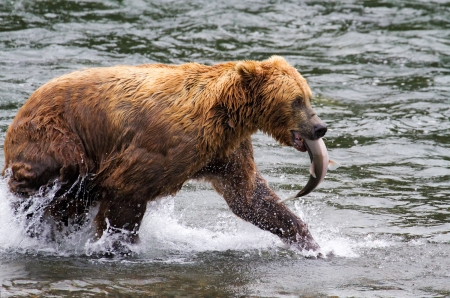 Grizzly beren vechten in een Alaska rivier. photo