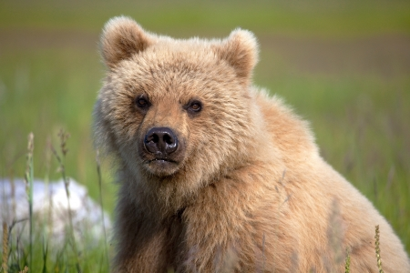 bear cub: Grizzly cub staring at the camera in Alaska.