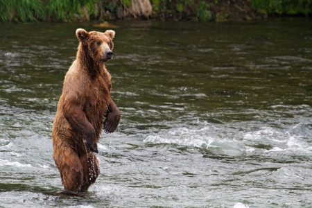 bear lake: Grizzly bear fishing for salmons in an Alaskan river.