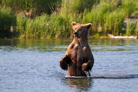 alaskan bear: Grizzly bear fishing for salmons in an Alaskan river.