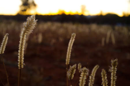 Weeds on a field in Australia with sunset in background Reklamní fotografie