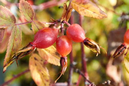 beautiful, useful berries grow on thorny branch
