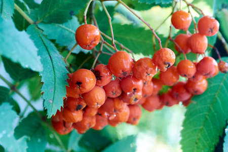 rowanberry: Rowanberry red bunch on an autumn branch with green leaves