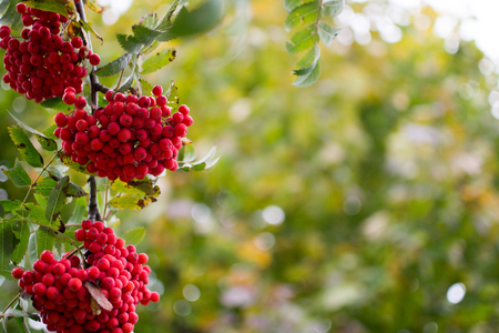 sorb: Red bunches of rowan on a green background foliage in the autumn