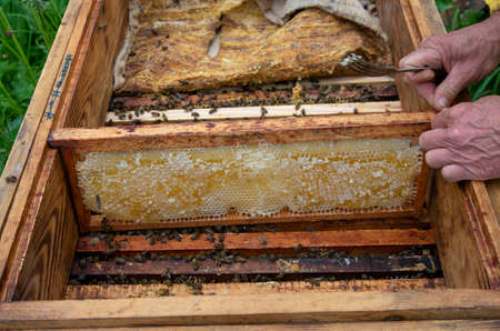 The beekeeper in the apiary. Pulls the frame out of the hive. Bees on the honeycomb. A beekeeper taking a honeycomb from a hive Stock Photo