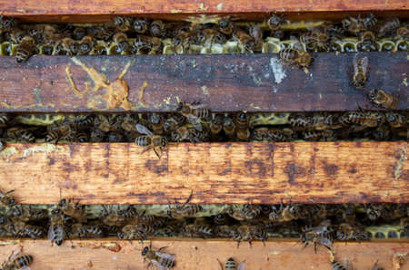 A man pulls out of the hive frame with honey and bees.
