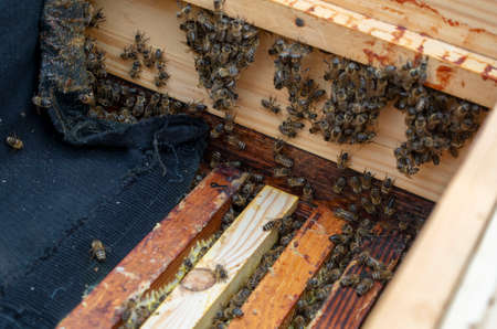 Photo colony of bees that sit on the walls of the hive while the beekeeper is working.