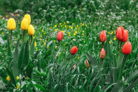 Yellow and red spring tulips Stock Photo