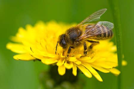 Honey bee collecting pollen of dandelion, macro shot