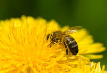 Honey bee collecting pollen of dandelion, macro shot photo