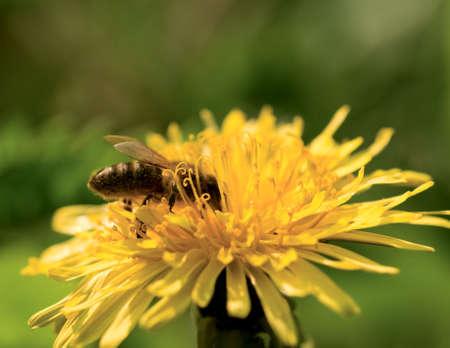 Honey bee pollinating dandelion, macro shot photo