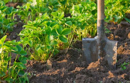 Strawberry field with cultivated soil and shovel photo