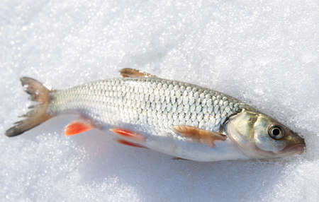 chub: Silver chub with red fins on shiny snow Stock Photo