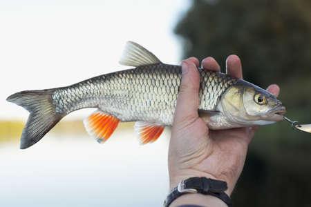 Nice chub in fishermans hand, shallow focus photo