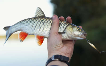 Nice chub in fisherman's hand, shallow focus Stock Photo - 5774157