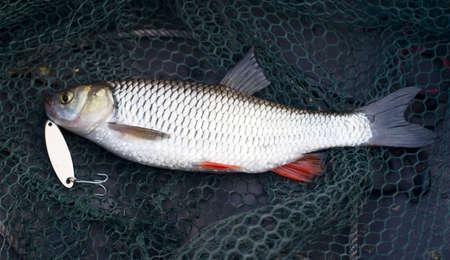 chub: Chub caught on brass lure lying in fishing net Stock Photo