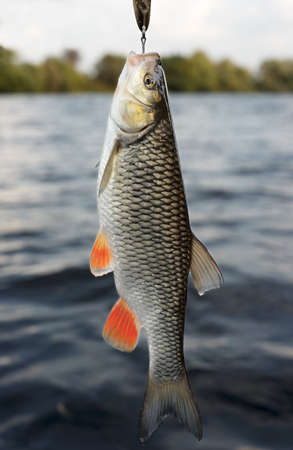 Chub caught on brass lure against water and sky Stock Photo - 5774104