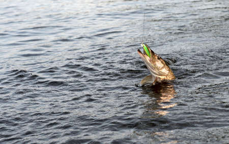 northern pike: Northern pike on hook in water
