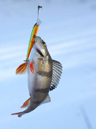Perch caught on plastic twitchbait photo