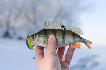 Perch caught on plastic twitchbait on sunny and frosty winter day Stock Photo - 6396551