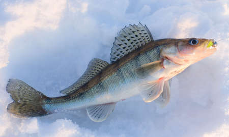 Walleye caught on jig lure is lying on snow in last rays of sunlight, released after shooting photo
