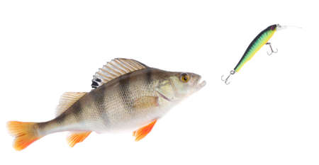 Perch chasing minnow hardbait, isolated on white. Fish is alive, not a silly rubber dummy Stock Photo - 6564788