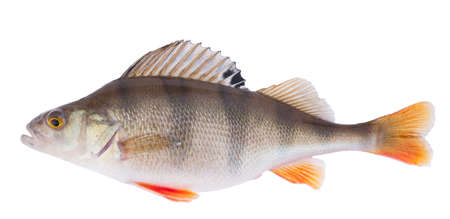 Live perch on white, accurate clipping path included in file photo
