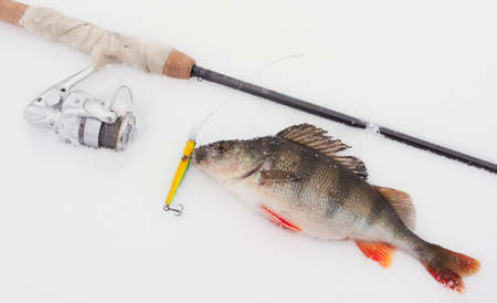 Extreme winter fishing - rod, big perch and lure in its mouth. TM's removed from rod and reel