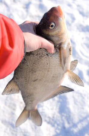 abramis: Really big bream in fishermans hand. Fish was released after taking photo Stock Photo