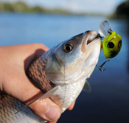 Chub caught on spinning bait against river landscape photo