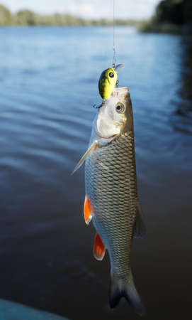 Chub caught on spinning bait against river landscape Stock Photo - 7822018