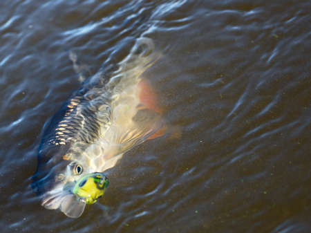 chub: Chub caught on spinning bait in water, copy space